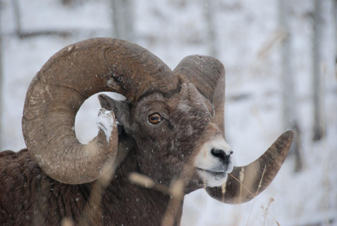 In 2008, poachers within the Sheep River Provincial Park recognized the animal's potential as a trophy and shot him, missing his skull by mere inches.