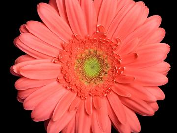 Flower head of Gerbera hybrida, on which hundreds of individual florets are arranged in a geometrically regular phyllotactic pattern consisting of Fibonacci numbers of left and right turning spirals.